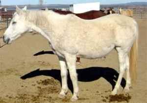 Barb Horse
