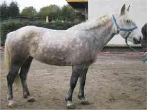 Camargue Pony
