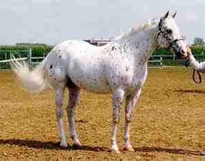 Colorado Ranger Horse