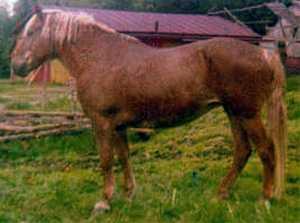 Finnish Draught Horse
