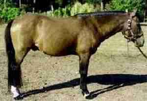 Galiceño Pony