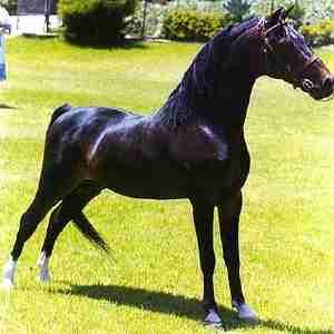 Hackney Horse and Pony