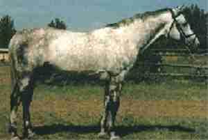 Hungarian Warmblood Horse