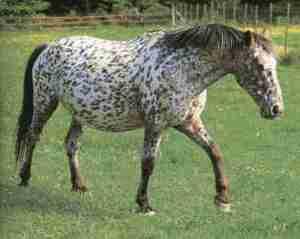 Knabstrup Horse