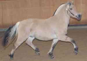 Norwegian Fjord Horse