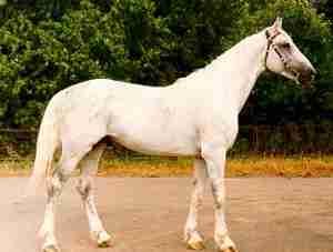Orlov Trotter Horse