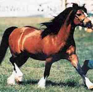 Welsh Pony Cob Type