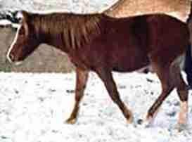 Yili Horse
